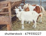 Goat And Pony On The Farm