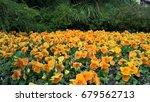 california poppy. icon  flowers. | Shutterstock . vector #679562713