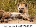the spotted hyena  crocuta... | Shutterstock . vector #679589233