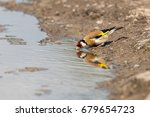 European Goldfinch Drinking...