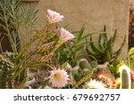 colorful cactus blooming | Shutterstock . vector #679692757