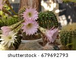 colorful cactus blooming | Shutterstock . vector #679692793