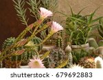 colorful cactus blooming | Shutterstock . vector #679692883