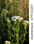 Small photo of The wild yarrow (Achillea collina) herbal medicine as well.