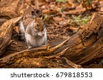 A Grey Squirrel Sits On A...