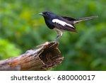 A Male Oriental Magpie Robin ...