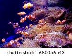 Ocellaris Clownfish  Amphiprio...