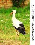 white stork  ciconia ciconia ... | Shutterstock . vector #680308117