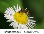 Small photo of Macro of green beetle Alleculidae with long mustache and paws sitting on white flower of Caucasian Erigeron in summer