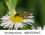 Small photo of Macro view of the side of a green beetle Alleculidae with long antennas and paws sitting on a white flower of the caucasian Erigeron
