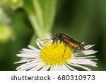 Small photo of Macro view of the side of a green-bronze beetle Alleculidae with long antennas and paws sitting on a white flower of the Caucasus Erigeron
