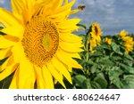 bee working on sunflower  blue... | Shutterstock . vector #680624647
