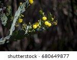 Small photo of Acacia cultriformis, the knife-leaf wattle, dogtooth wattle, half-moon wattle or golden-glow wattle, growing in Big swamp, Bunbury, Western Australia in early winter is an attractive small tree.