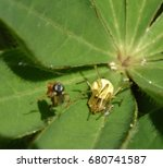 Small photo of Female Crab Spider ambushing its prey