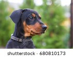 Stock photo cute pincher puppy in the grass puppy green portrait 680810173