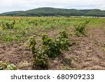 young sprouts of raspberry in... | Shutterstock . vector #680909233