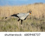 A Secretarybird Foraging In...
