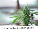 the marijuana planted in a... | Shutterstock . vector #680993323