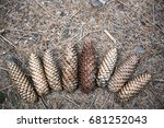 Small photo of pine cones in a fan lying on the ground accidentally in the woods