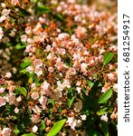 Small photo of A field of mountain laurel flowers blooming in the spring in Connecticut United states.