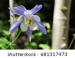 Columbine Flower With Bee