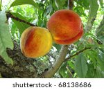 Two Ripe Peaches On The Tree...