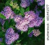 Small photo of Spiraea japonica, Japanese meadowsweet, Japanese spiraea, or Korean spiraea