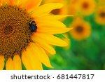 a bee on a sunflower getting... | Shutterstock . vector #681447817