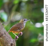 Small photo of Abbott's Babbler, a song bird, perching on dried branch of big tree in Asian tropical rainforest. Lovely and happy small wild animal in natural habitat with nature green with bokeh lights background.