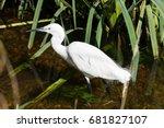 little egret | Shutterstock . vector #681827107