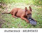naughty dog playing dirty shoe... | Shutterstock . vector #681845653
