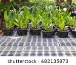 Rows Of Young Growth Plant In...