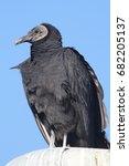 black vulture  coragyps atratus ... | Shutterstock . vector #682205137