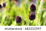 Bees On Allium Sphaerocephalon...