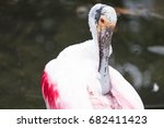 Small photo of White spoonbill Ajaia sitting in the water and cleaning himself