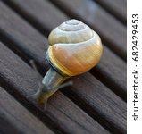 Small photo of Helix pomatia in Bavaria, Gastropoda