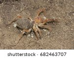 Small photo of Solifugae is an order of animals in the class Arachnida known variously as camel spiders, wind scorpions, sun spiders, or solifuges; macro image