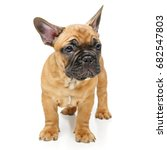 cute french bulldog puppy   Shutterstock . vector #682547803
