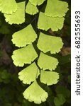 Small photo of Adiantum capillus-veneris (Southern maidenhair fern), a species of ferns in the family Pteridaceae, cultivated as a popular garden fern and houseplant