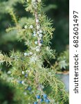 Small photo of Juniperus communis with berries, cultivated as an officinal and aromatic plant