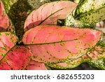 close up red and green leaves... | Shutterstock . vector #682655203