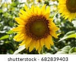 beautiful sunflower against the ... | Shutterstock . vector #682839403