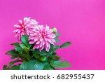 beautiful pink dahlia on a pink ... | Shutterstock . vector #682955437