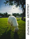 sheep walking and eating grass... | Shutterstock . vector #682959967