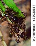 macro shots  thousands of ants... | Shutterstock . vector #683030857