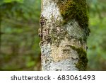 Small photo of Bark of abies veitchii