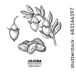 jojoba vector drawing. isolated ... | Shutterstock .eps vector #683166397