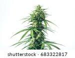 Plant Of Marijuana Medical Use...