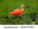 scarlet ibis  eudocimus ruber . ...   Shutterstock . vector #683376553