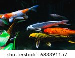 Koi Fish With Beautiful Colors...